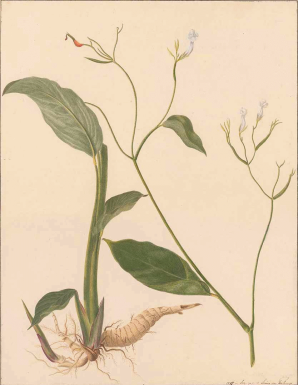 Louise von Panhuys: 'Maranta arundinacea L.' [als 'Arrow-Root'], pijlwortel, 'Aquarellen van Suriname' (1811-1824) Johann Wolfgang Goethe-Universität Frankfurt am Main, Deutschland.