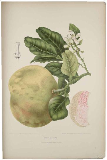 Madame Berthe Hoola van Nooten: 'Citrus decumana', lithografie (G. Severeyns), uit: 'Fleurs, Fruits et Feuillages Choisis de la Flore et de la Pomone de L'Île de Java peints d'après de nature', 1863 [-'64].