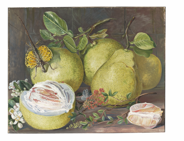 "Marianne North: ""Flowers and Fruit of the Pomelo, a branch of Hennah, and Flying Lizard, Sarawak"". Painting 552, Borneo, Sarawak. Afgebeeld: henna Lawsonia inermis, pomelo Citrus decumana, gewoon vliegend draakje Draco viridis. Adopted by Mrs Anne Iddiso. (Marianne North Gallery http://www.kew.org/mng/gallery/552.html )"