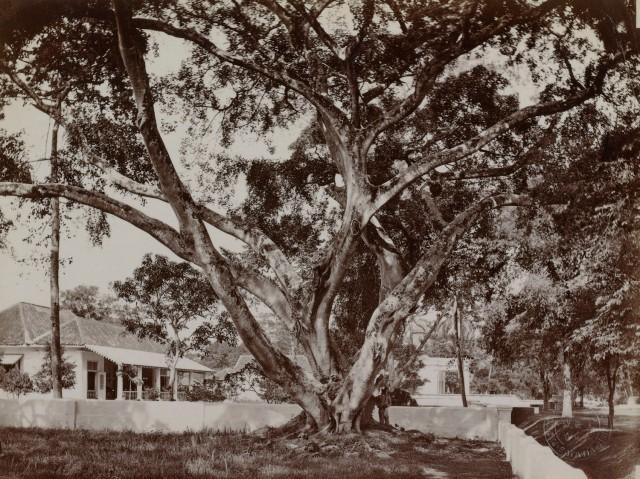 5) Woodbury & Page, 'Een waringinboom op een huiserf in Gang Scott (Batavia) met op de achtergrond de Armeense kerk', uit: 'Indrukken van Indonesië, Jawa (Java)', circa 1870, op registratiekaart geplakte fotografie; genomen op de hoek van het Koningsplein (rechtsachter de fotograaf) en de Gang Scott (rechts, in de verte weglopend richting Tanah Abang in het westen), met pal achter de fotograaf de Gang Holle, op de voorgond het huis waarin volgens Rob Nieuwenhuys de jonge Louis Couperus heeft gewoond, in het midden de rechterzijkant van de voorgevel van de Armeense Kerk en helemaal rechts op de foto (net niet zichtbaar) ) de tuin van het voormalige huis van Robert Scott waar in 1857-'58 Berthes meisjesschool in gevestigd is; de foto moet gemaakt zijn vanuit de tuin van het huis van Mrs Bain, de 'landlady' van Woodbury en Page in 1857.