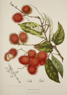 11) Madame Hoola van Nooten: 'Fleurs, fruits [etc] de l'Île de Java [etc]'', plaat 'Nephelium Lappaceum' [ramboetan], chromolithografie.