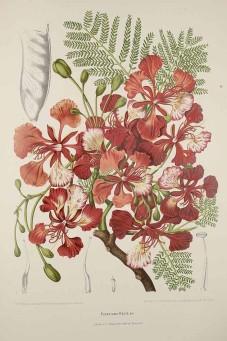 Poinsettia regia